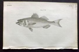 Pennant 1776 Antique Fish Print. Basse